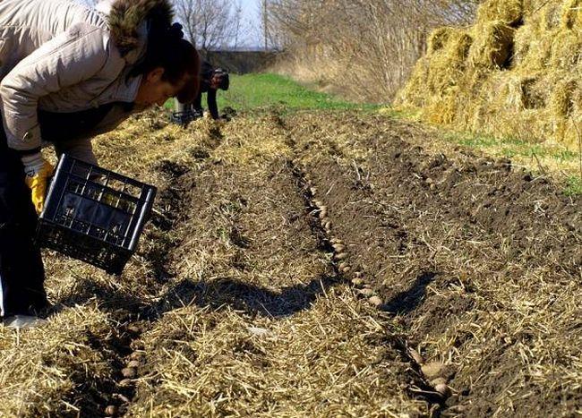 Kmetijstvo oprema krompir raste v skladu s slamo