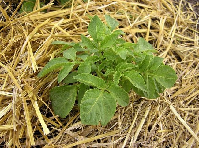 Slame ščiti krompirja pred različnimi boleznimi in preprečuje rast plevela