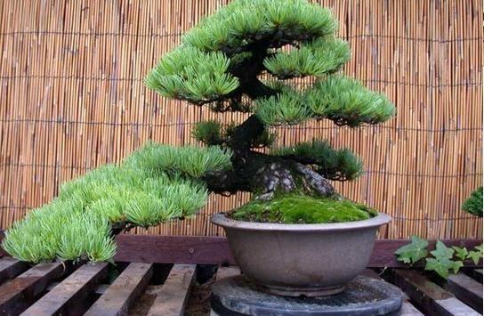 cedra bonsai