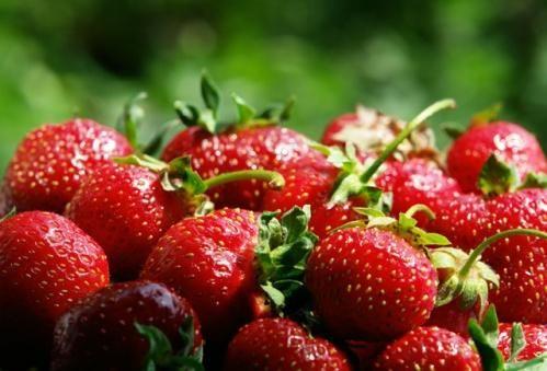 Gojenje jagod v plastičnih vrečkah, redkost, ampak kako zanimivo!