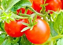 Выращивание крепкой и закаленной рассады томатов