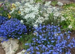 Kultivační robustní sazenice Lobelia pro zahradu