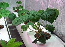 Выращивание клубники дома
