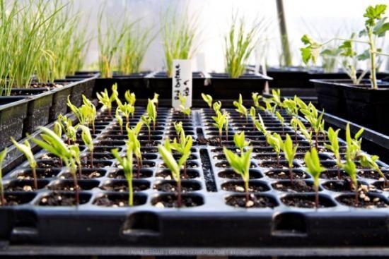 Klijavih semena paprika