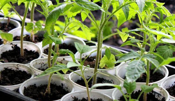 paradižnikove sadike
