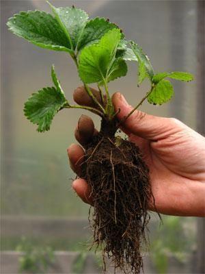 Vzgojo sadik jagod iz semena
