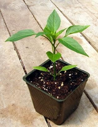 gojenje paprike sadik