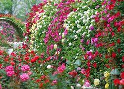Pěstování růží v zahradě domku