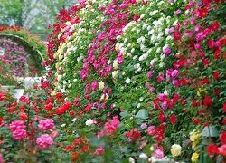 Выращивание садовых роз на даче