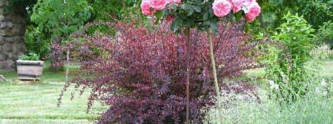 Выращивание штамбовых роз