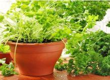 Выращивание свежих трав на подоконнике