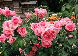 Выращивание в саду роз флорибунда: от подборки сорта до укрытия на зиму