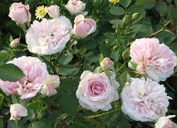 Rose Carte Blanche