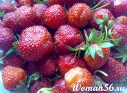 Gojenje jagod jagoda sajenja spomladi