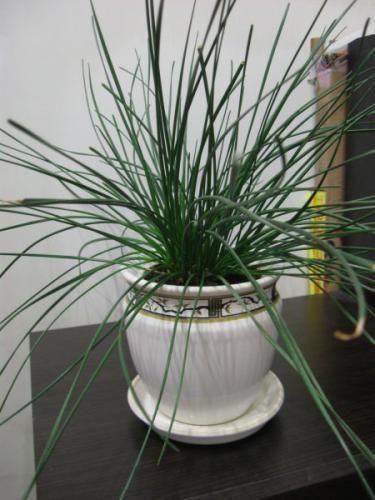 Rastejo okrasne sobne rastline - dolgoletno tradicijo
