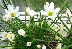 Zephyranthes ciocoi