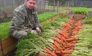 хороший урожай моркови