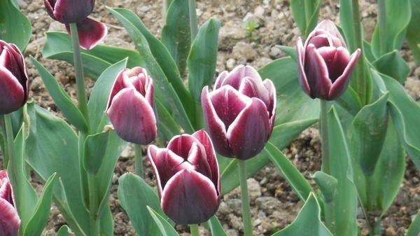 Tulip sorta Aleksander Puškin