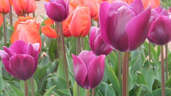 Tulip sorta Demeter