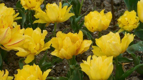 Tulip sorta Monte Carlo