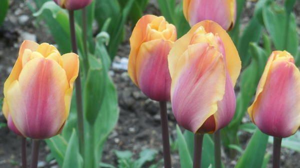 Tulipanov sorta je novost Indian Summer