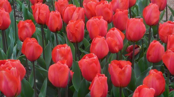 Tulipanov sorta je novost Orange Baloon