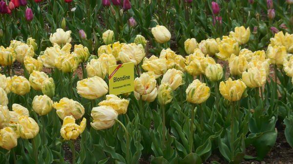 Tulipanov sorta je novost Blondine