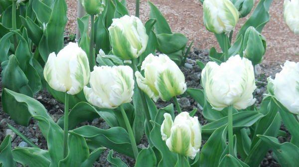Tulipanov sorta je novost Madonna
