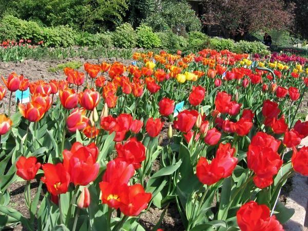 Выставка тюльпанов в никитском ботаническом саду (крым