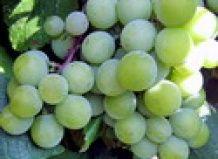Razstava je potekala v Uralu grozdja