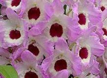 čudovito Dendrobium