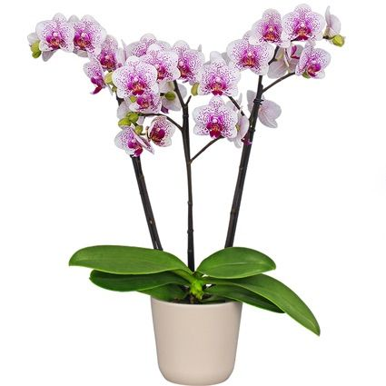 Pojasnila o tem, kako rastejo korenine Phalaenopsis