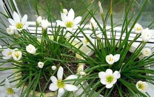 Зефирантес и уход за ним: особенности полива, подкормки и пересадки растения