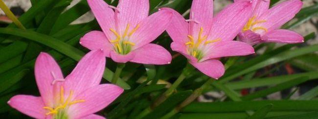 Zephyranthes macranthon: opis, razmnoževanje, nega, sajenje, uporaba vrta, fotografije, sort in vrst