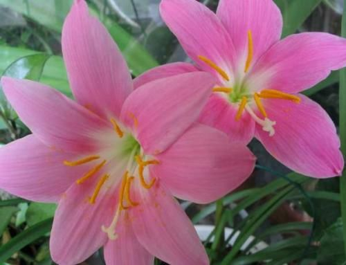Зефирантес розовый. Особенности выращивания
