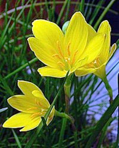 Зефирантес желтый - что следует знать
