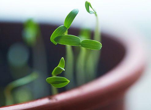 Проростки салата