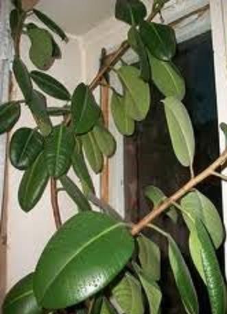 Зеленый фикус - украшение дома