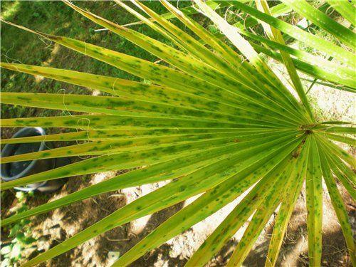 Желтеет пальма. Причина и следствие