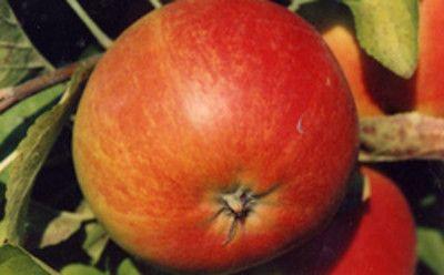 Характеристики сорта вишни Щедрая