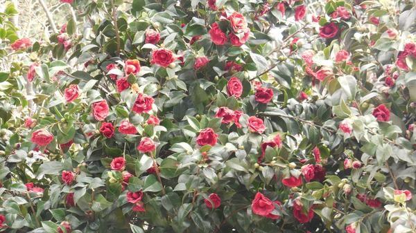 kamelija cveti
