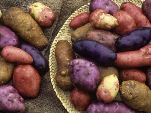 Rumena, rdeča, vijolična krompir - lepota na vrtu in na mizi