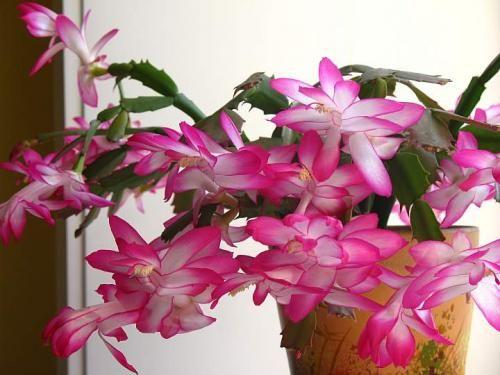 Зигокактус - цветущий красавиц в цветнике