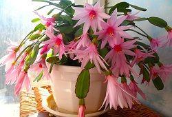 Zigokaktus sau flori neobișnuite decembristă