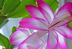 květina Decembrist
