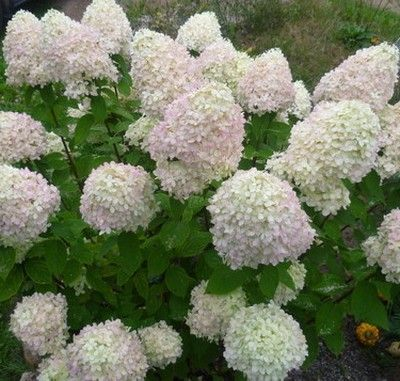 Prezimovanje hortenzije vrt